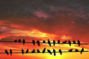 1110510_birds_on_wire_against_sunset