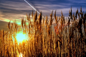 1336535_lyme_grass_in_sunset_-_hdr