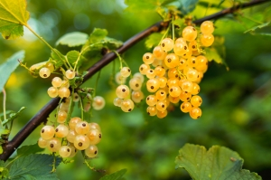 currants-white-1428606-m